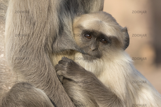 grown up cub of a gray langur who drinks milk from the breast of a female
