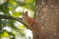 Little squirrel in the forest on a tree. Photo hunting Rest in the woods.