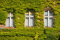 old building facade overgrown with ivy plant  -