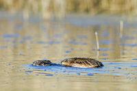 Bisamratte Paarung im Wasser / Ondatra zibethicus