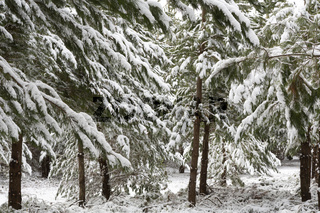 Beautiful pine trees covered in a thick snow near Oberon in winter