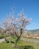 Fruehling in der Pfalz mit der Mandelbluete,Deutschland