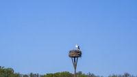 White stork on nest, high up on nesting pole.