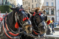horses on the main square of Krakow