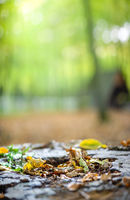 In the forest. Fallen yellowed leaves lie on stump, light rays breaking through the thick of trees. Vertical natural background on autumn theme , copy space for text