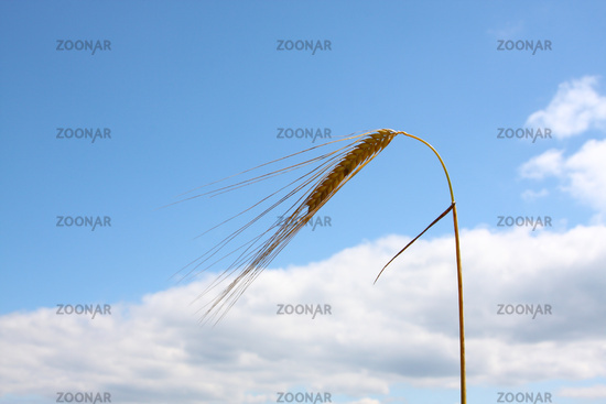 wheat and the blue sky background