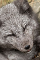 Close-up of the head of a young polar fox