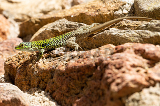 Thyrrhenian wall lizard