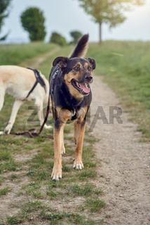 Happy black and tan dog standing panting
