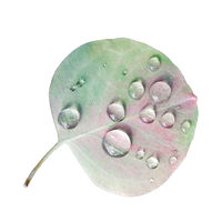 Eucalyptus leaf with rain droplets isolated over white background.