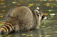 A raccoon plays outside on the water