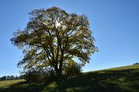 Berg-Ahorn in Herbstfaerbung, Acer pseudoplatanus, im Gegenlicht