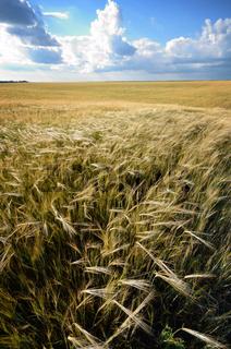 Barley field under cloudy blue sky in Ukraine