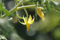 Solanum lycopersicum, Tomate, Tomato, Blüte, blossom