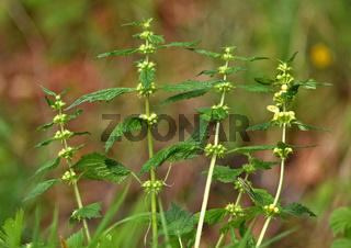 Gewöhnliche Goldnessel, Lamium galeobdolon, gold dead nettle
