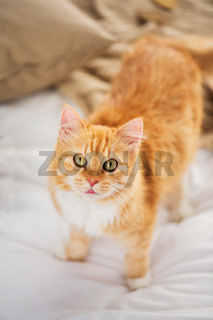 red tabby cat in home bed
