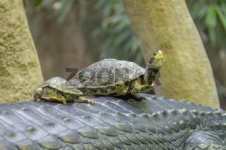 turtles on Gharial
