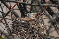 Fieldfare, (Turdus pilaris)