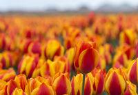 Blühendes Tulpenenfeld orangener Tulpen in der Blumenzwiebelregion Bollenstreek