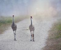 sandhill crane family walking on a rural road