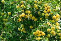 Alter Birnbaum