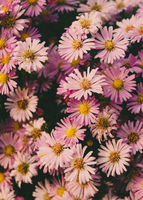 bunch of beautiful pink daisy flowers