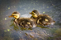 Ducklings in the water