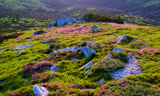 Pink rhododendron flowers on morning summer mountain slope.