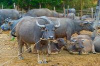 Livestock, herd of buffalo, Tahiland
