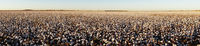 Super Panoramic View Glowing White Bols Top Mature Cotton Plants