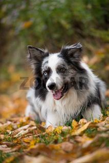 Border Collie im Herbstlaub
