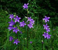 Nesselblaettrige Glockenblume; Campanula trachelium;