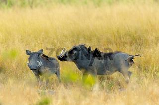 Warthog in Moremi reserve, Botswana safari wildlife