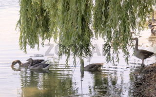 Graugänse (Anser anser) am Seeufer, spiegelndes Wasser, Trauerweide