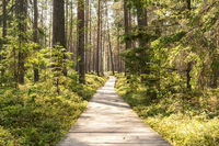 Pine forest with wooden footpath