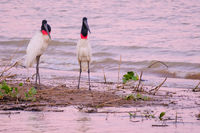 Couple of Jabiru Storks, Jabiru Mycteria, Cuiaba River, Porto Jofre, Pantanal Matogrossense, Mato Grosso do Sul, Brazil