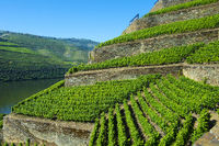 Im Weinberg Höllen-Tal über dem Douro Fluss, Weingut Quinta de la Rosa, Pinhao,Portugal