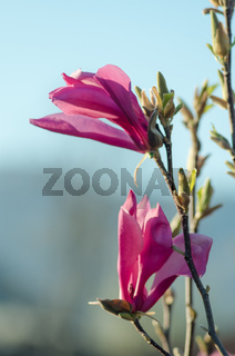 Young pink magnolia. Magnolia flower on magnolia Tree. Magnolia tree garden, beauty pink flower.