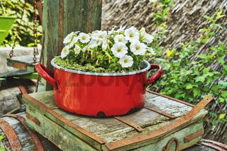 Weisse Petunien   white Petunias