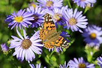 Painted Lady Butterfly on New York Asters