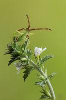 Lederwanze (Coreidae)