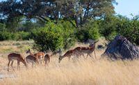 Impala antelope Moremi Botswana, Africa wildlife