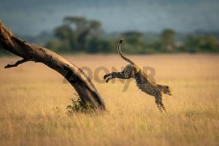 Cheetah jumps down from tree in savannah