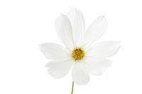 Schmuckkörbchen (Cosmos bipinnatus) auf weißem Hintergrund
