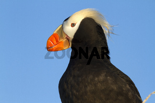 Portrait of a TUFTED PUFFIN looking into the distance on a summer evening