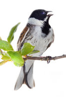 male Reed Bunting singing on green spring branch