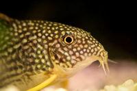 Panzerwels im Aquarium
