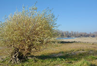 D--Korbweide Salix Viminalis.jpg
