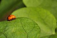 Beetle, Aarey milk colony Mumbai , India