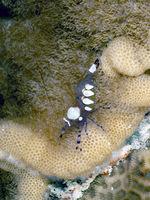 Pfauenaugen-Anemonengarnele ( Ancylocaris brevicarpalis)